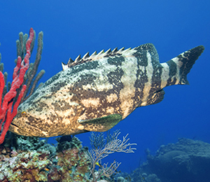 The Goliath Grouper