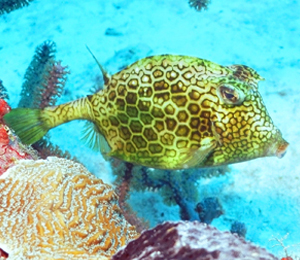 Scuba Diving for Scrawled Cowfish