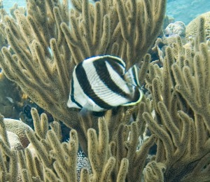 Key West Banded Butterflyfish on a Scuba Dive