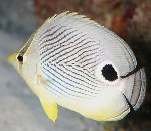 Dive for the Key West Four-eyed Butterflyfish
